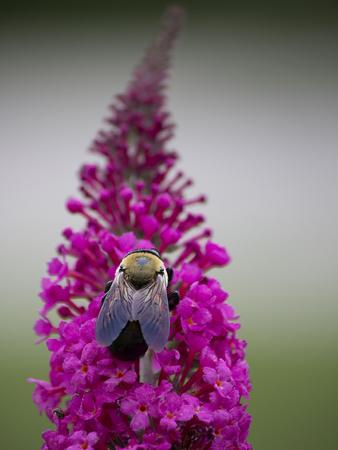 Bee feeding on blooms of butterfly bush