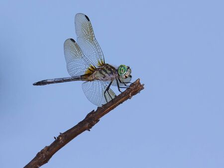 limb: Closeup of dragonfly perching on limb