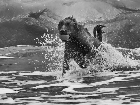 retrieving: Labrador Retriever fetches ball through beach surf Stock Photo