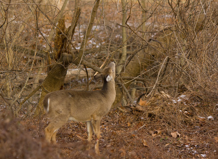 White-tailed deer eating near woodland trail Stock Photo
