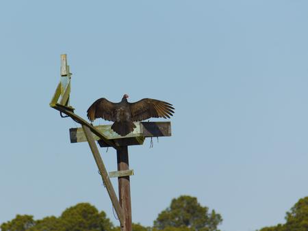 Turkey vulture sunning on osprey nest