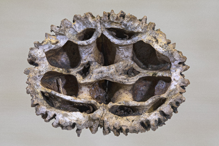 ridged: Interior close up of black walnut shell