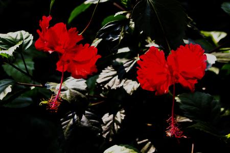 두 개의 빨간색 히비스커스 식물의 꽃