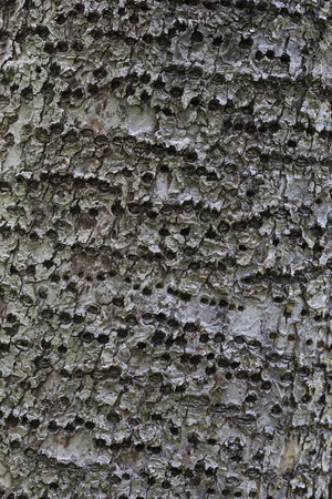 holed: Bark of apple tree with rings of holes made by woodpeckers.
