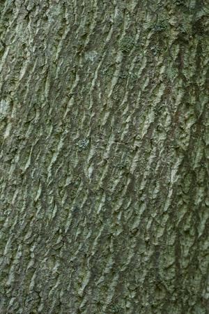 Closeup of oak tree bark Stock Photo