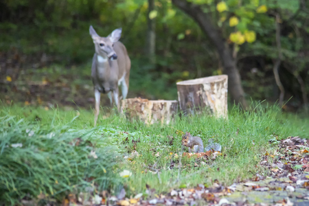 Gray squirrel feeds in the foreground as white-tailed deer observes in the background Stock Photo
