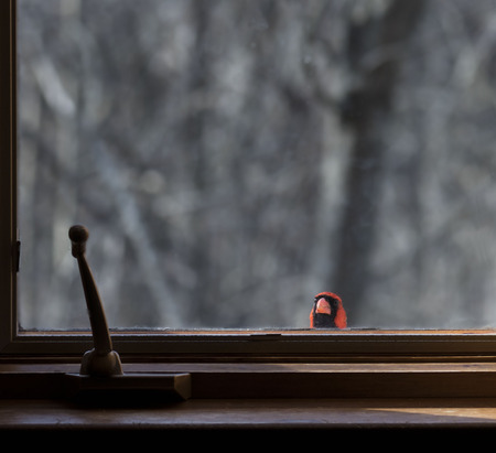 Male cardinal bird perched on window sill peers into room.
