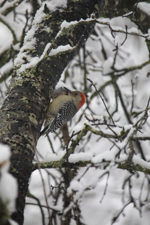 Red-bellied woodpecker works around the tree with fresh snowfall.