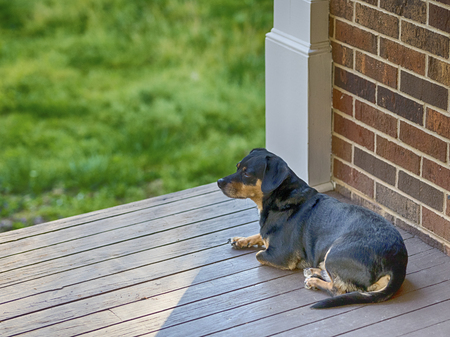Small black and brown dog rests outside on porch in spring 版權商用圖片