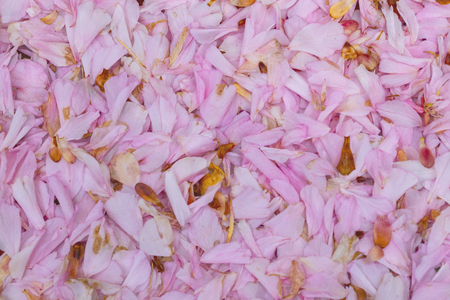 Carpet of pink cherry blossom petals lying beneath a cherry tree.
