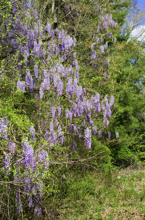 Wisteria vines growing along the edge of woodlands with purple blossom clusters. 版權商用圖片