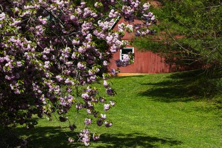 Cherry tree blossoms frame a red barn in North Carolina. 版權商用圖片