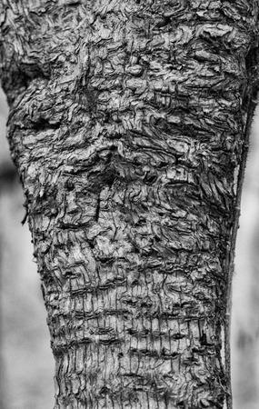 Monochrome view of apple tree bark showing swirls and woodpecker holes. 版權商用圖片