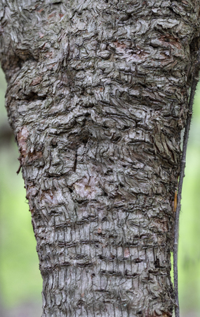 Apple tree bark showing swirls and woodpecker holes.