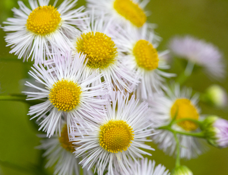 Closeup of a bunch of delicate yellow and white wildflowers. 版權商用圖片