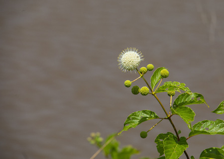 A button bush, Cephalanthus occidentalis, blooms at the water's edge at Blackwater NWR in Maryland.