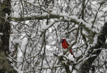 A male cardinal bird perched conspicuously amid snowy branches.