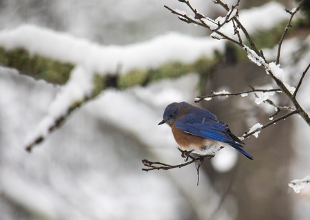 An eastern bluebird perches on a small snowy branch in the woods.