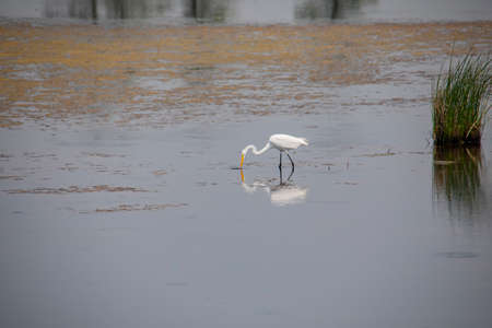 A great egret feeds in shallow marsh water at Blackwater National Wildlife Refuge near Church Creek, Maryland.