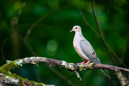 Profile view of a mourning dove perched on an apple tree limb.