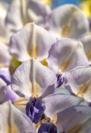 Close-up view of wild wisteria blooms, focused on the white petals. 版權商用圖片