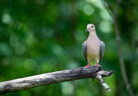 A mourning dove perches on a dead apple tree limb. 版權商用圖片