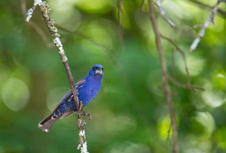 Mature male blue grosbeak perched on small limb of apple tree.