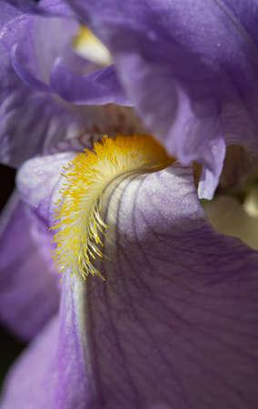 Close-up view of the 'beard' of a purple bearded iris flower. 版權商用圖片