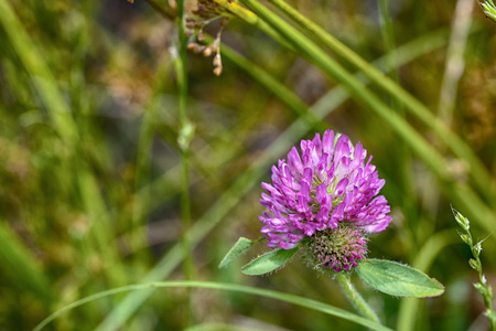 A pink clover bloom in a pasture among the grass. 版權商用圖片