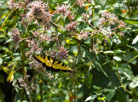 Eastern tiger swallowtail butterfly hangs on a Joe Pye weed.