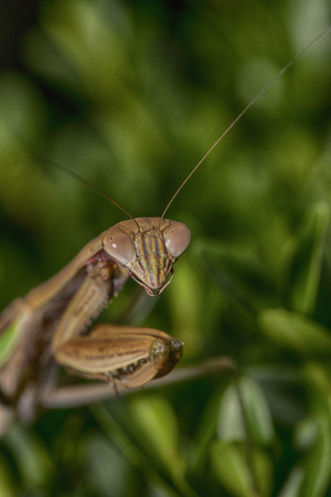 Chinese praying mantis is seen in close-up on a boxwood shrub.