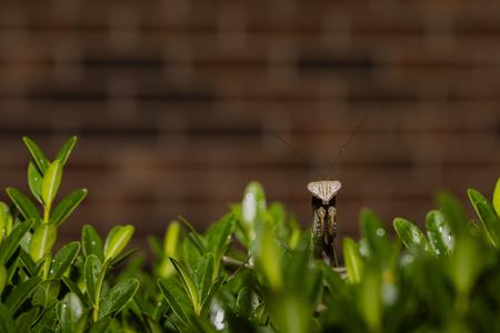 Praying mantis atop shrub peers into the camera.