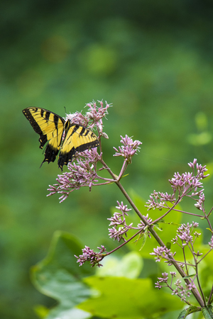 Eastern tiger swallowtail butterfly feeds on a pink flower of a Joe Pye weed.