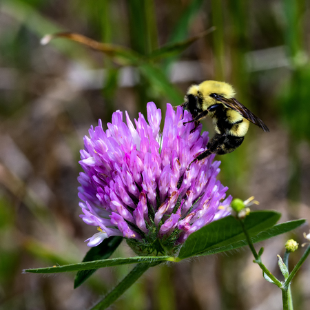 A bee feeds from a pink flower on red clover in a field.