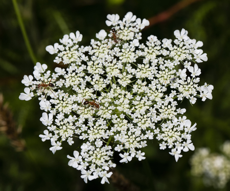 Several insects climb across Queen Anne's lace  (wild carrot) blooms. 版權商用圖片