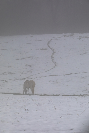 A white horse grazes in a snowy pasture in the fog following Winter Storm Diego.