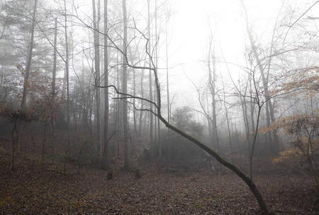 Woodland clearing on a foggy winter morning in January. Ground is covered in fallen leaves and most trees are bare.