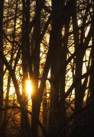 Setting sun peeks through a stand of hardwood trees. 版權商用圖片