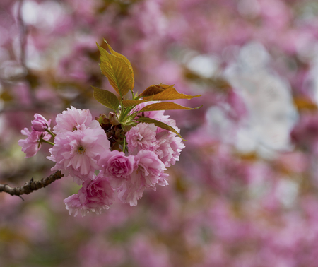 Closeup view of double flower cherry blossoms, prunus serrulata.