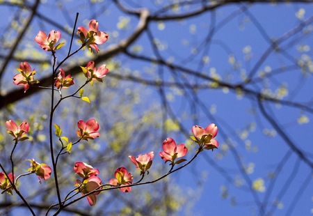 Pink dogwood blooms illuminated in the North Carolina woods.