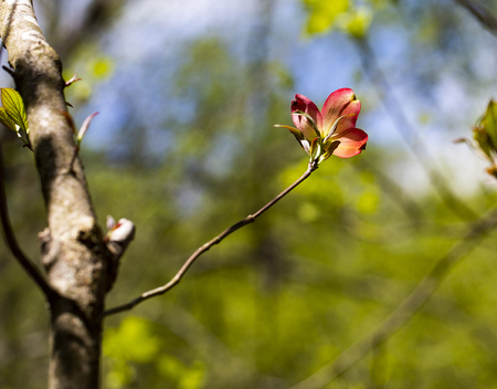 Pink dogwood bloom illuminated in the North Carolina woods; horizontal format.
