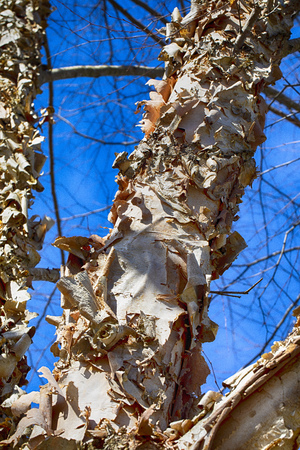 The bark on a paperbark birch tree peels and curls in late winter; 版權商用圖片
