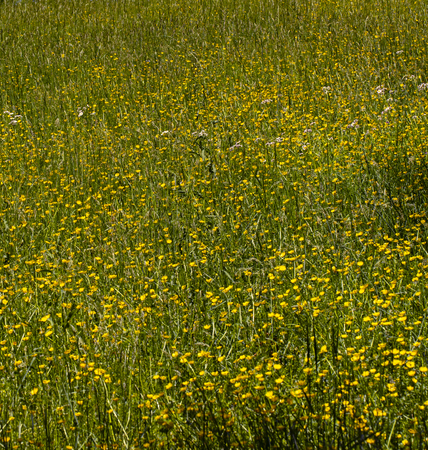 Horse pasture deep in grass and buttercups. 版權商用圖片 - 126468839