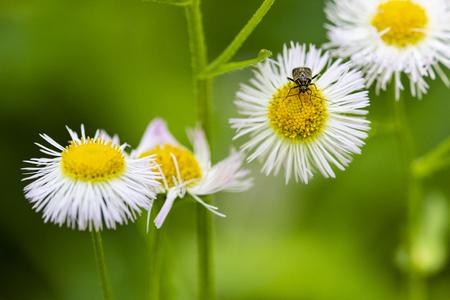 Beetle crawls on center of prairie fleabane flower.