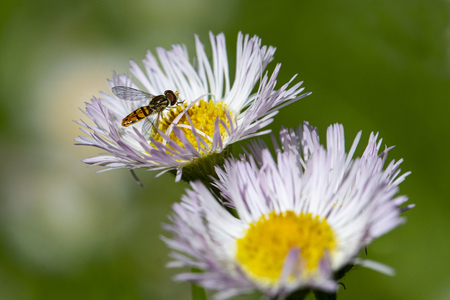 Close-up of hover fly on center of praire fleabane wildflower. 版權商用圖片 - 126468860