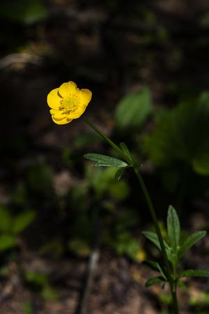 Single hairy buttercup glows in the spring sun. 版權商用圖片 - 126468864