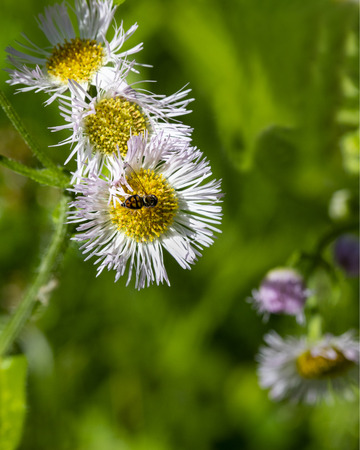 Close-up of hover fly on center of praire fleabane wildflower. 版權商用圖片