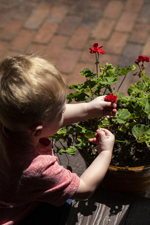 Male toddler picks flowers from flower pot.