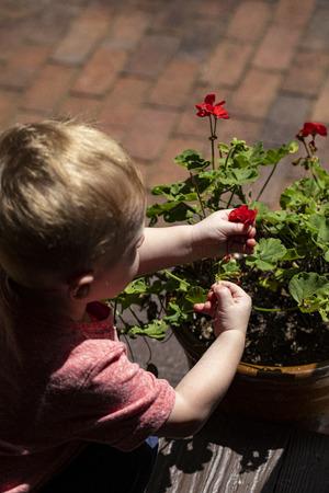 Male toddler picks flowers from flower pot. 版權商用圖片 - 126468868