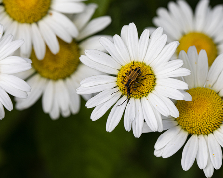 Fireflies get friendly on the center of a daisy in the field.